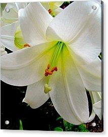 Flower Christmas Lily. Acrylic Print by Joyce Woodhouse
