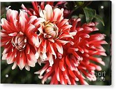 Flower-dahlia-red-white-trio Acrylic Print by Joy Watson