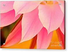 Flower Feathers Acrylic Print by Michael Cinnamond