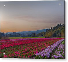 Flower Field At Sunset In A Standard Ratio Acrylic Print