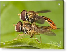 Flower Flies Mating Acrylic Print by Clarence Holmes