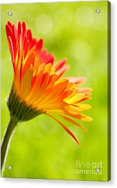 Flower In The Sunshine - Orange Green Acrylic Print by Natalie Kinnear