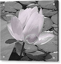 Flower Lilly Pad Acrylic Print
