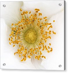 Flower Macro Acrylic Print by Sue Harper
