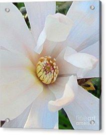 Flower Magnolia White Acrylic Print by Joyce Woodhouse