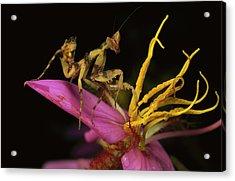 Flower Mantis Nymph Acrylic Print by Mark Moffett