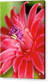 Flower Of Cleistocactus Winteri Acrylic Print by Dr Jeremy Burgess