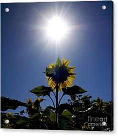 Flower Of Sunflowers Acrylic Print by Bernard Jaubert