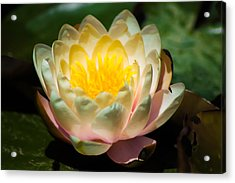 Flower On A Lilly Pad Acrylic Print by Naomi Burgess