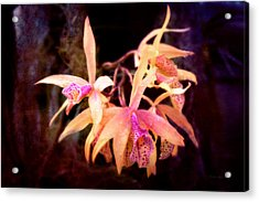 Flower - Orchid - Laelia - Midnight Passion Acrylic Print by Mike Savad