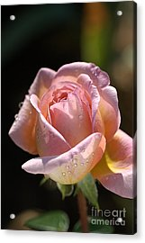 Flower-pink And Yellow Rose-bud Acrylic Print