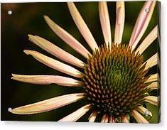 Flower Rays Acrylic Print by Wanda Brandon