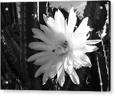 Flowering Cactus 1 Bw Acrylic Print