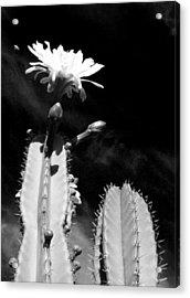 Flowering Cactus 2 Bw Acrylic Print