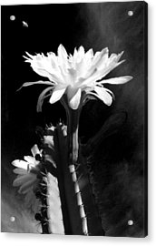 Flowering Cactus 3 Bw Acrylic Print