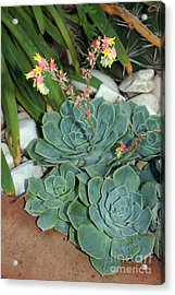 Flowering Cactus Acrylic Print by Rod Jones