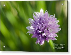 Flowering Chive Acrylic Print