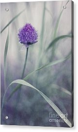 Flowering Chive Acrylic Print