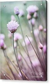 Flowering Chives I Acrylic Print