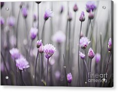 Flowering Chives IIi Acrylic Print