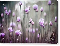 Flowering Chives Iv Acrylic Print