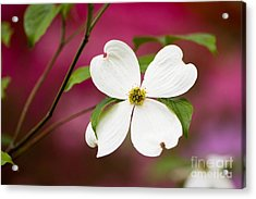 Flowering Dogwood Blossoms Acrylic Print by Oscar Gutierrez