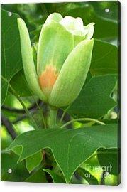 Flowering Maple Acrylic Print