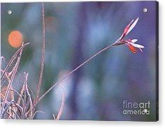 Flowering Moss Acrylic Print by Joy Hardee