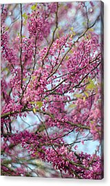 Acrylic Print featuring the photograph Flowering Redbud Tree by Suzanne Powers
