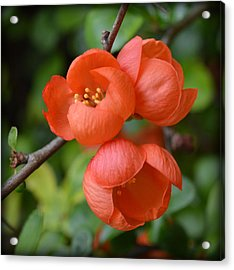 Flowering Quince Acrylic Print by Bishopston Fine Art