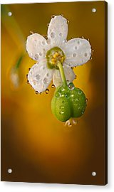 Flowering Spurge  Acrylic Print