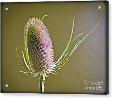 Flowering Teasel. Acrylic Print