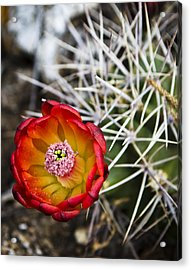 Blooming Texas Cactus Acrylic Print