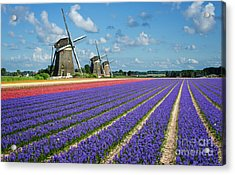Landscape In Spring With Flowers And Windmills In Holland Acrylic Print