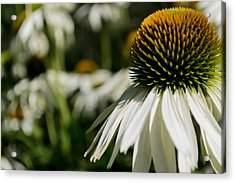Acrylic Print featuring the photograph Flowers - Echinacea White Swan by Scott Lyons