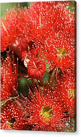 Flowers-red Eucalyptus-australian Native Flora Acrylic Print by Joy Watson