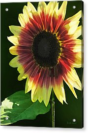Flowers - Sunflower Ring Of Fire Acrylic Print by Susan Savad