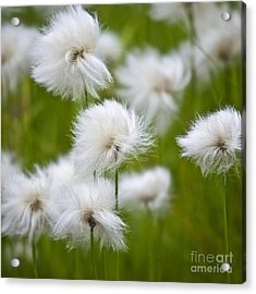 Flowery Cotton Acrylic Print by Heiko Koehrer-Wagner