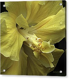 Flowing Petals Of The Chinese Hibiscus Acrylic Print