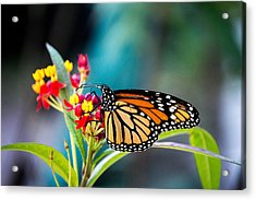 Flutter By Acrylic Print