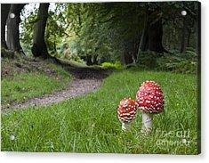 Fly Agaric Mushrooms Acrylic Print