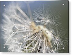 Fly Away Dandelion Seeds  Acrylic Print by Jennie Marie Schell