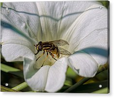 Acrylic Print featuring the photograph Fly In White Flower by Leif Sohlman