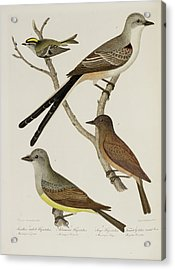 Flycatcher And Wren Acrylic Print by British Library