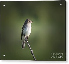 Acrylic Print featuring the photograph Flycatcher In Meditation by Anita Oakley