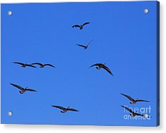 Flyin Geese Acrylic Print by Mark McReynolds