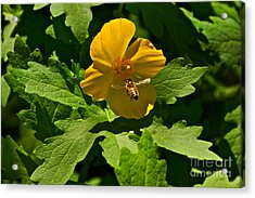 Flying Bee And Wood Poppy Acrylic Print by Byron Varvarigos