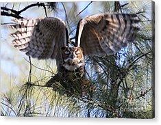 Flying Blind - Great Horned Owl Acrylic Print