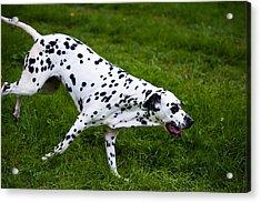 Flying Dog.  Kokkie. Dalmation Dog Acrylic Print by Jenny Rainbow