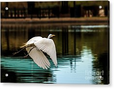 Flying Egret Acrylic Print by Robert Bales